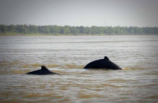 kratie-dolphin